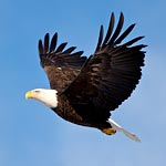 Eagle River Bald Eagles